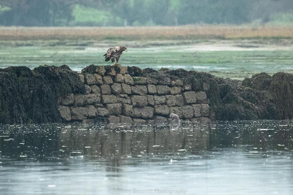 One of the eagles on sea wall watches a seal in the water below