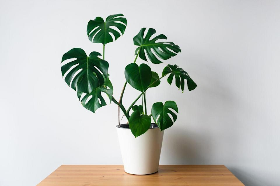 "<p>Also known as a cheese plant, these large, glossy leaves are on-trend in the houseplant world. It can handle humidity but does not like waterlogged soil. It prefers a bright spot in indirect sun and likes to have its leaves kept free from dust. </p><p><a class=""link rapid-noclick-resp"" href=""https://go.redirectingat.com?id=127X1599956&url=https%3A%2F%2Fwww.crocus.co.uk%2Fbomcard%2F_%2Fmonstera-deliciosa%2Fmonstera-deliciosa-and-pot-cover-combination%2Fclassid.2000041506%2F&sref=https%3A%2F%2Fwww.countryliving.com%2Fuk%2Fhomes-interiors%2Finteriors%2Fg33454786%2Fbathroom-plants%2F"" rel=""nofollow noopener"" target=""_blank"" data-ylk=""slk:BUY NOW"">BUY NOW </a></p>"