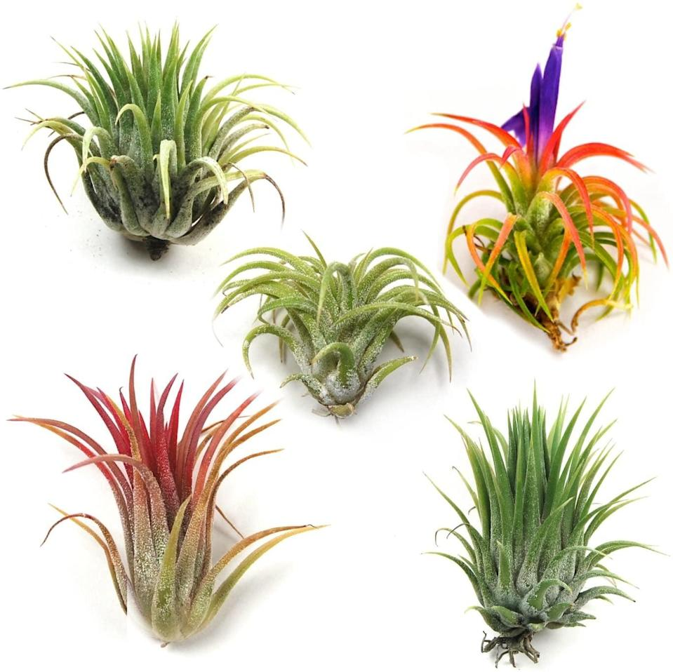 <p>Add easy to maintain accent plants like these <span>Ionantha Mexican Air Plants - Set of 5</span> ($17) to your home.</p>