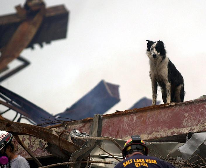 Cowboy, a black-and-white Border Collie searches for victims in the rubble of the New York's World Trade Center for the Federal Emergency Management Agency, in this Sept. 21, 2001 file photo. Scientists have spent years studying the health of search and rescue dogs that nosed through the debris at ground zero, and to their surprise, they have found no sign of major illness in the animals. (AP Photo/Alan Diaz, File)