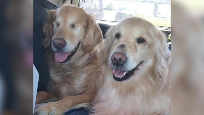 This blind dog has his very own guide dog