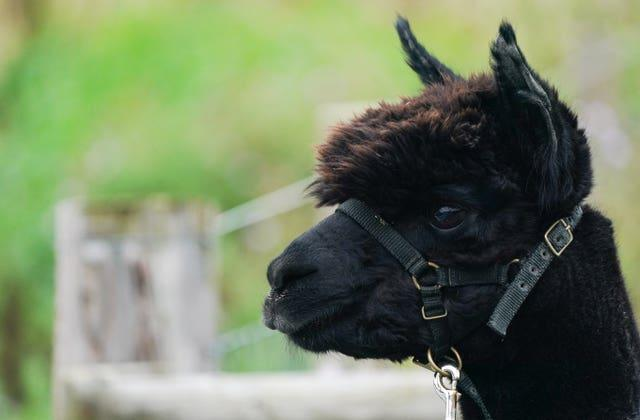 Geronimo the alpaca was imported from New Zealand in 2017 (Andrew Matthews/PA)