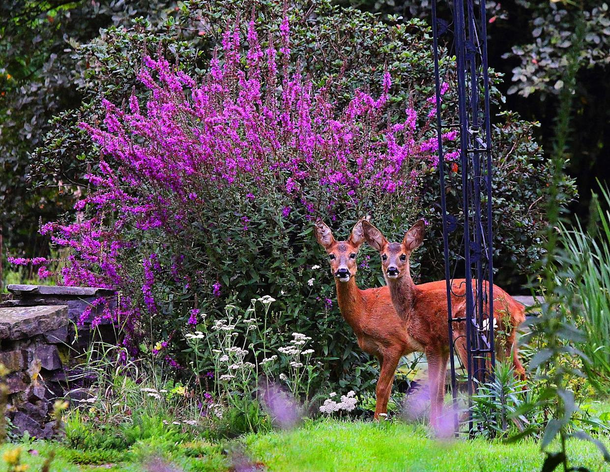 <p>It's that time of year agin—when all of the deer in your neighborhood team up on your garden to wreak havoc and eat all of your beloved plants. Protecting your gardens from pests can be pretty tricky—especially from huge intruders like deer—but exactly what you plant might make a difference.</p><p>If deer are a huge problem in your backyard, try planting some of these deer-resistant plants—yes, they exist! Deer <strong>hate </strong>fragrant blooms form certain herbs like lavender and especially sweet smelling flowers like peonies. They'll also stay away from toxic plants—naturally. Here's a list of all of the deer-resistant plants you should be putting in your garden to keep the pests out and gorgeous blooms in. </p>