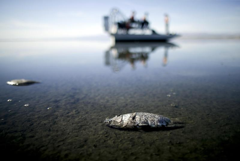 FILE - In this April 29, 2015 file photo  oxygen-starved tilapia floats in a shallow Salton Sea bay near Niland, Calif. California officials have proposed spending nearly $400 million over 10 years to slow the shrinkage of the state's largest lake. Gov. Jerry Brown's administration on Thursday, March 16, 2017 unveiled a plan to build ponds on the northern and southern ends of the Salton Sea. It's expected to evaporate at an accelerated pace starting next year when the San Diego region no longer diverts water to the desert region. (AP Photo/Gregory Bull, File)