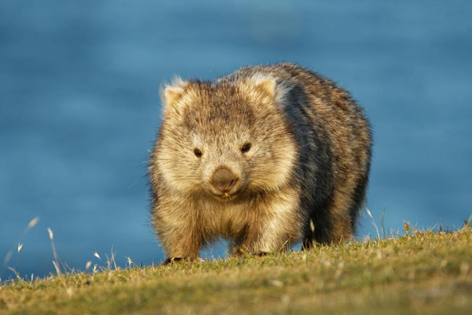 "Wombats produce around 80 to 100 pieces of excrement each night and until recently no one knew why it was cube-shaped. But in 2018, researchers concluded that it's <a href=""https://www.cnn.com/2018/11/19/australia/wombat-cube-poo-intl/index.html"" rel=""nofollow noopener"" target=""_blank"" data-ylk=""slk:the wombat's intestines"" class=""link rapid-noclick-resp"">the wombat's intestines</a>, which are made up of some ""stretchy"" and some ""stiff"" sections, that create ""the edges and the cubing"" during the digestive process."