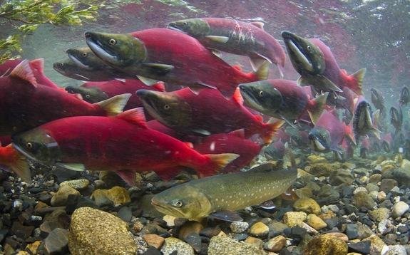 Bright pink sockeye salmon swarm above a brown Dolly Varden trout, which is lurking in wait for an egg meal.