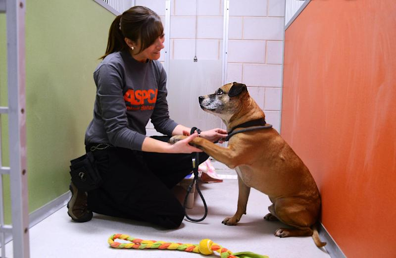 This undated publicity photo provided by the ASPCA shows Musketeer, a five-year-old Shepard-pit bull mix, with Pia Silvani, vice president of Training and Behavior for St. Hubert's, in one of the real life rooms at the ASPCA Behavioral Rehabilitation Center in Madison, N.J. The real rooms simulate a home environment for dogs. Musketeer is available for adoption at St. Hubert's. (AP Photo/ASPCA)