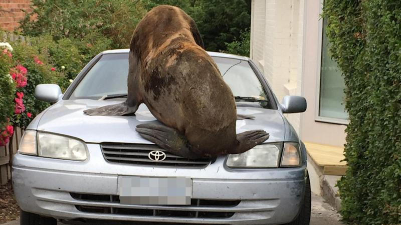 A giant seal that's spent Boxing Day wandering suburban Tasmania's streets, has been tranquillised.