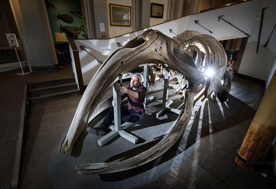 RETRANSMITTING CORRECTING THE INFORMATION ABOUT THE PROJECT FUNDING. Conservator Nigel Larkin begins work to dismantle a 40ft juvenile North Atlantic whale skeleton, the largest artefact within the Hull Maritime Museum's collection. (Photo by Danny Lawson/PA Images via Getty Images)