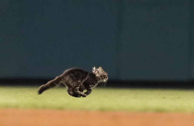 Rally Cat has caused far more problems than the Cardinals anticipated. (AP Photo/Jeff Roberson)