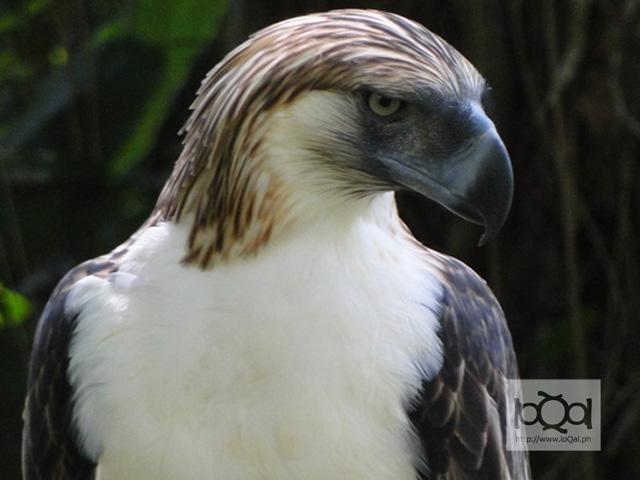 Group urges reforestation of forests to save Philippine eagle