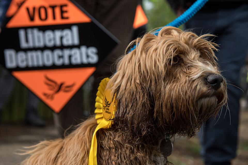 CAMBRIDGE, ENGLAND - APRIL 27:  Cockapoo dog 'Bonnie' is seen amongst Liberal Democrats supporters as party leader Tim Farron campaigns for the British general election at Eastfield regeneration site on April 27, 2017 in Cambridge, England. Mr Farron has been campaigning in the Cambridgshire area alongside parliamentary candidate and former MP Julian Huppert, Mayoral candidate Rod Cantrill and cadidate for South Cambridgeshire Susan Van De Ven.  (Photo by Chris J Ratcliffe/Getty Images)