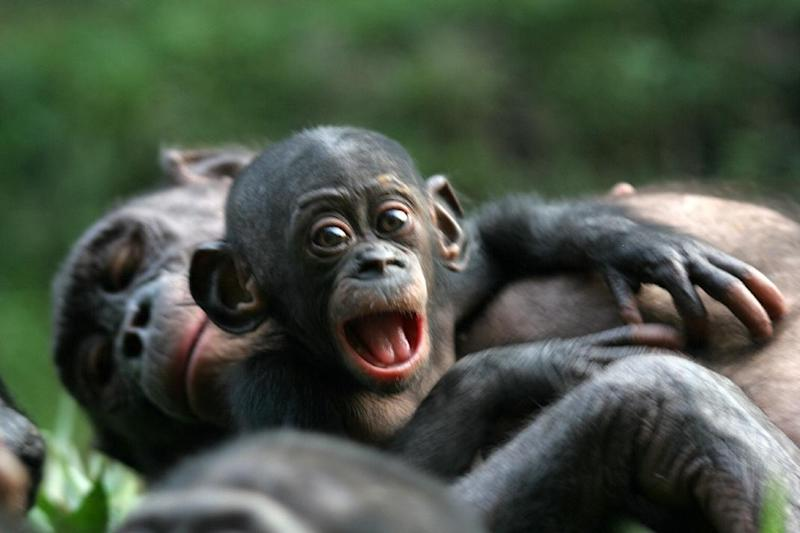 This undated handout photo provided by Friends of Bonobos shows mother and a baby bonobo in the Congo. Behold the bonobo, our ape cousin that's kinder and gentler than the chimp or, well, us. Now scientists have mapped the bonobo DNA, and some researchers say that may eventually reveal secrets about how the darker side of our nature evolved. Scientists have found that we are as close genetically to the peaceful but little known bonobo as we are to the more violent and better understood chimpanzee. It's as if they are sisters and we are cousins, related to them both equally, sharing some traits with just bonobos and other characteristics with just chimps. (AP Photo/Vanessa Woods, Duke University)