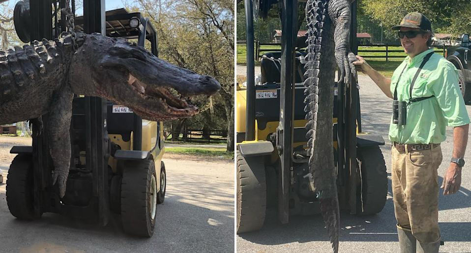 A dead alligator is pictured in South Carolina.