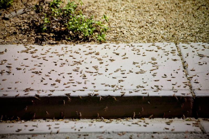 Grasshoppers swarm a sidewalk a few blocks off the Strip on July 26, 2019 in Las Vegas, Nevada. - Massive swarms of grasshoppers have descended on the Las Vegas Strip this week, startling tourists and residents as they pass through town on their northbound migration. Videos posted on social media show swarms of the bugs, called pallid-winged grasshoppers, converging on the bright neon lights of the Strip and sidewalks covered with the insects. (Photo by BRIDGET BENNETT/AFP / AFP)BRIDGET BENNETT/AFP/AFP/Getty Images ORIG FILE ID: AFP_1J52LP