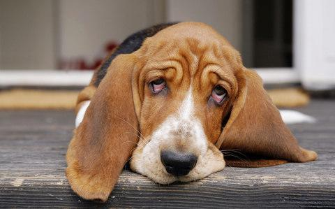 Puppy dog eyes may have emerged with domestication - Credit: Andre Maslennikov