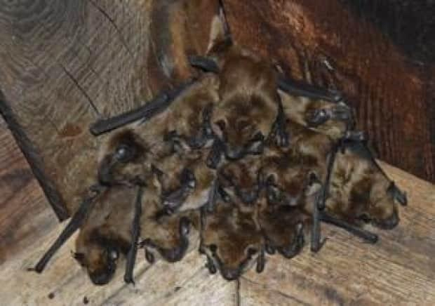 Fraser Health says a group of nine people were handling an injured bat on Saturday evening at White Pine Beach in Port Moody. The agency is urging those people to seek medical attention. Image shows a roost of brown bats in B.C.   (Community Bat Program of B.C./G. Hucul - image credit)