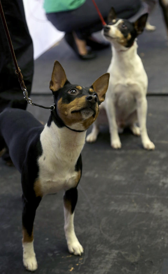 A rat terrier is introduced during a news conference in New York, Wednesday, Jan. 15, 2014. The rat terrier is one of three new breeds that will be competing at the 138th Westminster Dog Show starting Feb. 10, 2014. (AP Photo/Seth Wenig)