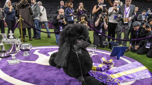 PHOTO: Siba, a Standard Poodle, sits in the winners circle after winning Best in Show during the annual Westminster Kennel Club Dog Show on Feb. 11, 2020, in New York City. (Stephanie Keith/Getty Images, FILE)