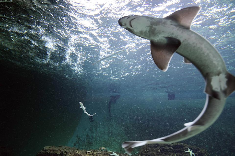 A picture taken on April 5, 2013 shows a smooth-hound shark (L) with an adult female (foreground, R) in the aquarium of Talmont-Saint-Hilaire, western France. Three females gave birth in captivity to twenty five smooth-hound sharks measuring betwen 20 and 30 cm (8 to 12 inches). The aquarium keeps twelve females caught by fishermen of Les Sables d'Olonne one year ago. AFP PHOTO/ JEAN-SEBASTIEN EVRARD        (Photo credit should read JEAN-SEBASTIEN EVRARD/AFP via Getty Images)