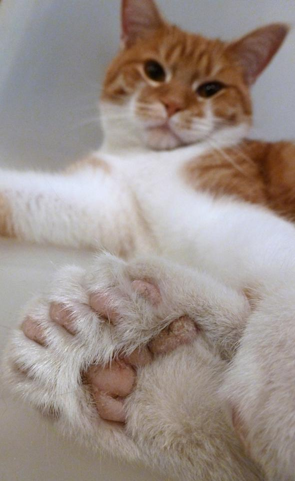 In this Nov. 17, 2011, photo is Daniel, a cat with two extra toes on each of his feet, in Milwaukee. It's a genetic mutation called polydactylism and even though it's two toes shy of a Guinness World Records number, it's helping Milwaukee shelter officials raise money to buy a new home after they learned their rent was being doubled. (AP Photo/Carrie Antlfinger)