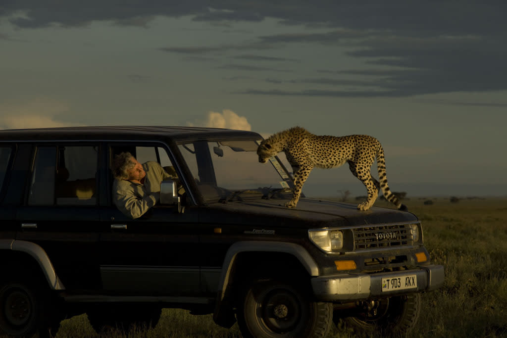 Tanzania, Africa - Leo Kuenkel watches a cheetah positioned on the hood of his truck.  