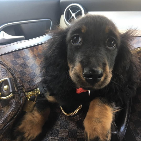 Bentley's worst habit? That would be obsessive licking. Photo: lilbentleythedachshund on Instagram.