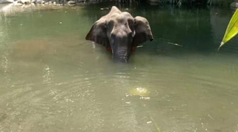 Pregnant Elephant, Killed After Consuming Firecracker-Stuffed Pineapple, Died Due to Drowning And Inhalation of Water Into Lungs, Reveals Post-Mortem Report