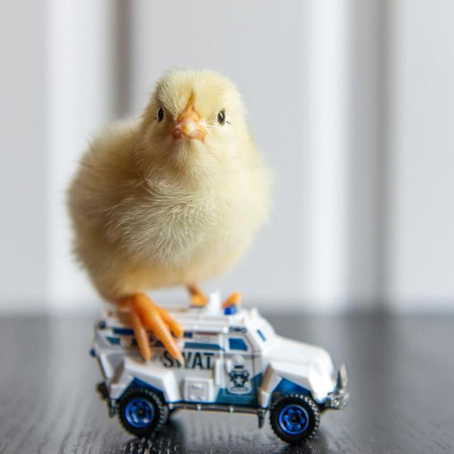 <p>A chick stands on a SWAT team vehicle. (Photos: Alexandra C. Daley-Clark/sillychickens.com) </p>