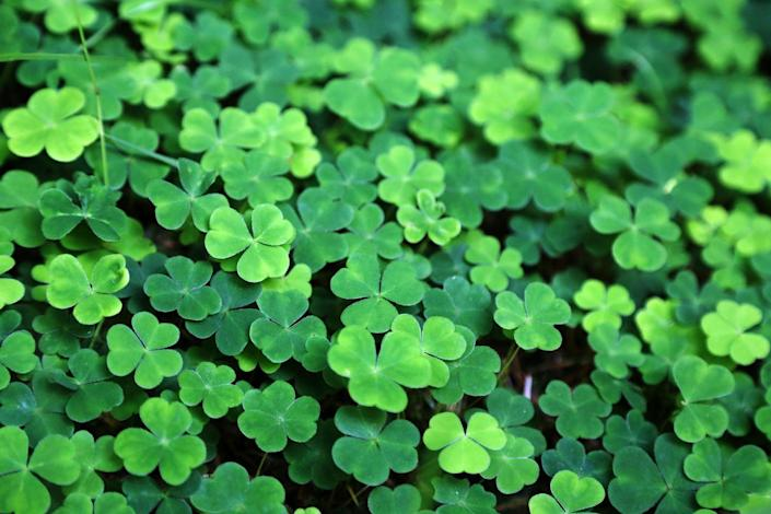 """<p>Why not start an annual St. Paddy's Day tradition of planting shamrocks in your backyard, or growing them as <a href=""""https://www.goodhousekeeping.com/home/gardening/advice/g1285/hard-to-kill-plants/"""" rel=""""nofollow noopener"""" target=""""_blank"""" data-ylk=""""slk:house plants"""" class=""""link rapid-noclick-resp"""">house plants</a>? Not only are these clovers perfectly festive for the holiday, they also last longer than a sack of green candy. </p>"""