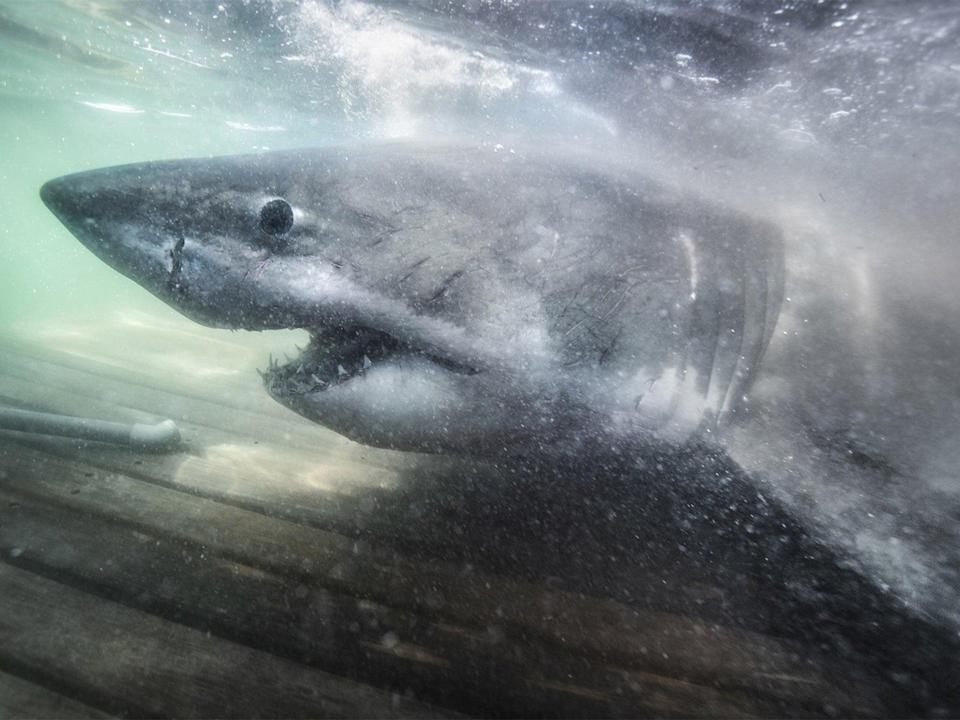 Nukumi, a great white weighing more than 1.5 tonnes was found off Canada's Atlantic coast (Ocearch)