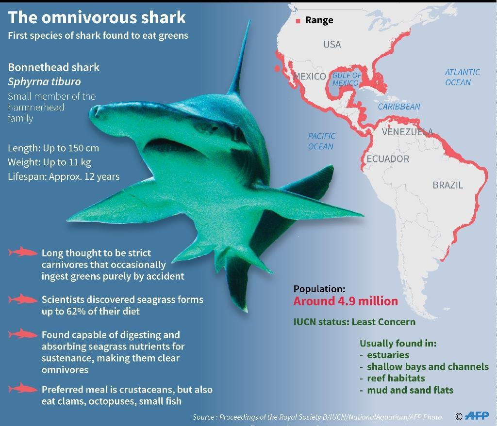 The bonnethead shark, the first species of sharks found to be omnivorous, scientists say (AFP Photo/Gal ROMA)
