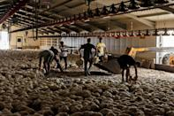 Farmers dispose of around 80,000 chickens that died from heat and smoke inhalation near Ora village on the southern slopes of Cyprus' Troodos mountains