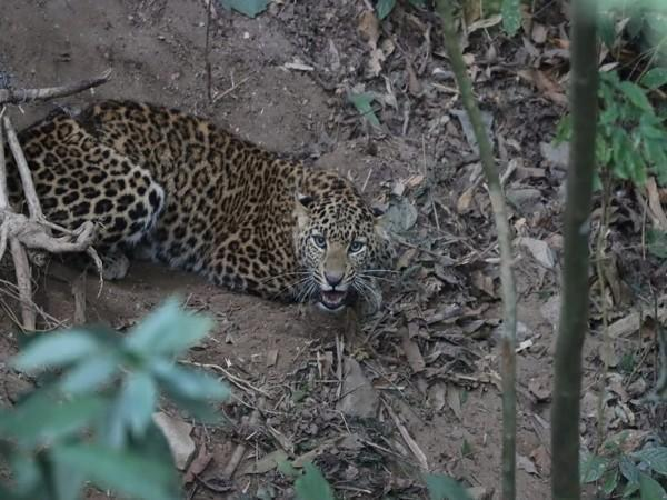 The leopard was rescued by forest officials in West Bengal's Darjeeling. (Photo/ANI)