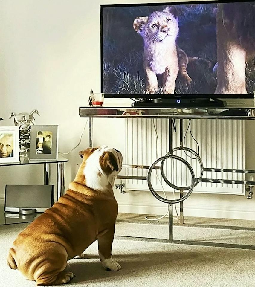 """A British Bulldog that is obsessed with The Lion King has become a TikTok star after adorable videos of him watching the Disney movie racked up almost a million views. Owner Carly Pither, 33, is convinced one-year-old Bruce believes he is a lion after he first became transfixed by big cats in wildlife documentaries. So she thought she would try putting on The Lion King for him to watch and was left gobsmacked by his incredible response. The loveable pooch curls up quietly to watch the entire film """"like a child"""" - up until the tear-jerking scene where [spoiler alert] Simba's dad Mufasa dies. At that point Bruce reacts in the same way every single time by jumping and """"hopping around like a bunny"""" as well as barking at the TV."""