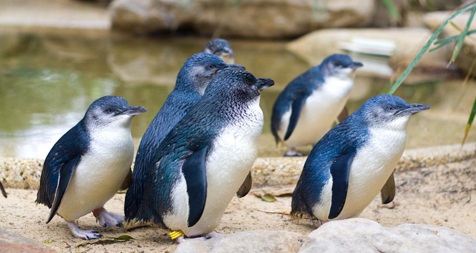 The Fairy penguin (aka Little penguin) is the smallest species of penguin (Getty)