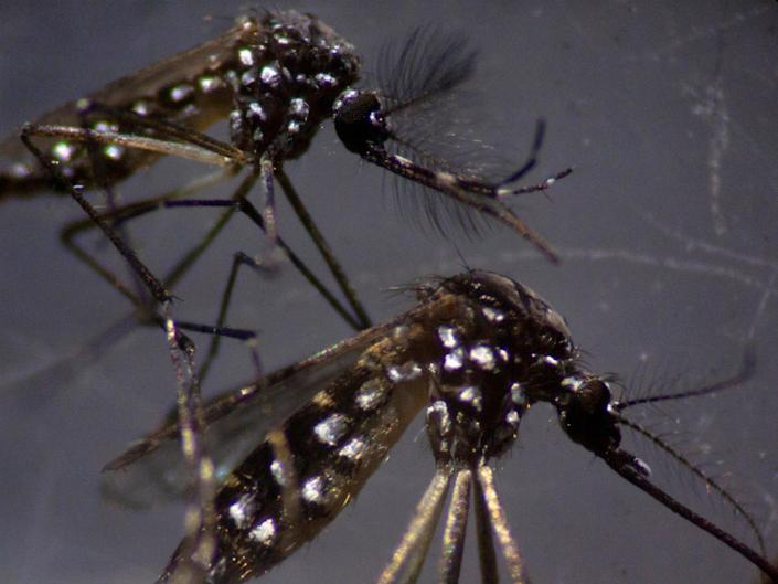 A male and a female Aedes aegypti mosquitos are seen through a microscope at the Oswaldo Cruz Foundation laboratory in Rio de Janeiro, Brazil, on 14 August 2019