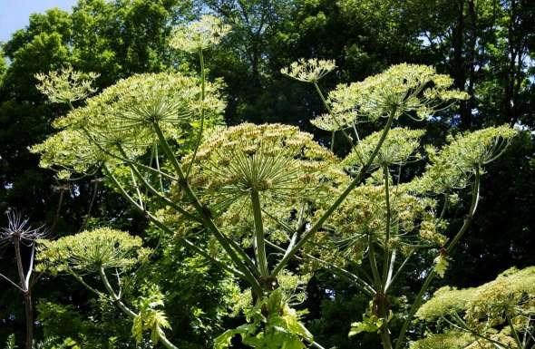 Giant hogweed sends teen to hospital with third-degree burns
