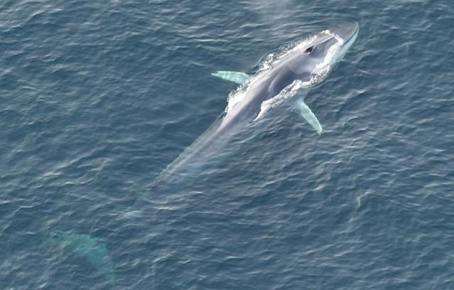 A fin whale swims inside the monument. (Photo: New England Aquarium's Anderson Center for Ocean Life aerial survey of Northeast Canyons and Seamounts Marine National Monument, November 2017)