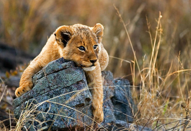 A lion cub, Panthera leo, lies on a boulder, draping its fron legs over the rock, looking away, yellow golden coat