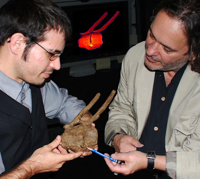 In this photo made available by David A. Burnham via the National Academy of Sciences, researchers Robert A. DePalma II, left, and David A. Burnham show a Tyrannosaurus rex tooth crown embedded between the vertebrae of a hadrosaur and surrounded by bone overgrowth. That regrowth shows the duckbill was alive and not just a carcass when it met the T. rex, so the fossil provides definitive evidence that T. rex hunted live animals, researchers say in the Monday, July 15, 2013, issue of the Proceedings of the National Academy of Science. (AP Photo/David A. Burnham)