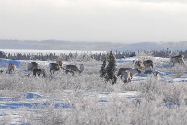 A file photo of Bathurst caribou. In the last 30 years the caribou herd has declined by 98 per cent, according to the N.W.T. government. (ENR/GNWT - image credit)