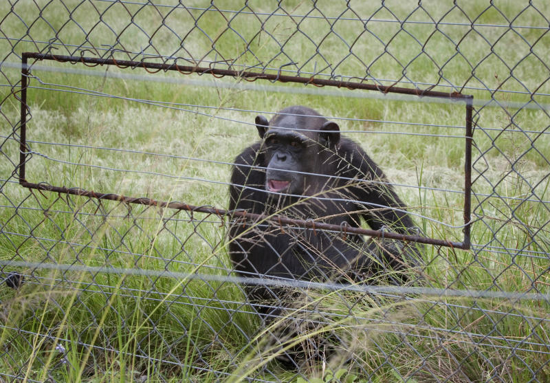 In this photo taken Feb. 1, 2011, chimpanzees sit in an enclosure at the Chimp Eden rehabilitation center, near Nelspruit, South Africa. A paramedic official says chimpanzees at a sanctuary for the animals in eastern South Africa bit and dragged a man at the reserve, badly injuring him. In a statement, Jeffrey Wicks of the Netcare911 medical emergency services company said the man he described as a ranger was leading a tour group at the Jane Goodall Institute Chimpanzee Eden Thursday June 28, 2012 when two chimpanzees grabbed his feet and pulled him under a fence into their enclosure. The international institute founded by primatologist Jane Goodall opened the sanctuary in 2005. It is a home to chimpanzees rescued from further north in Africa, where they are hunted for their meat of held captive as pets. (AP Photo/Erin Conway-Smith)