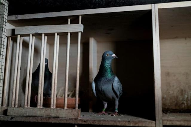 Pigeon racing became the first sport to return in England on Monday (AFP Photo/Kenzo TRIBOUILLARD)
