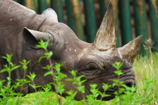 The IUCN identified modest growth in numbers decimated by poaching and illegal trade -- this November image released by Ngorongoro Conservation Area Authority in Tanzania shows Fausta, a female black rhino who died last year aged 57