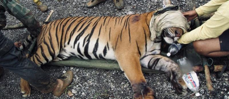 A snared tiger found by an anti-poaching unit. (PHOTO: WWF Malaysia)