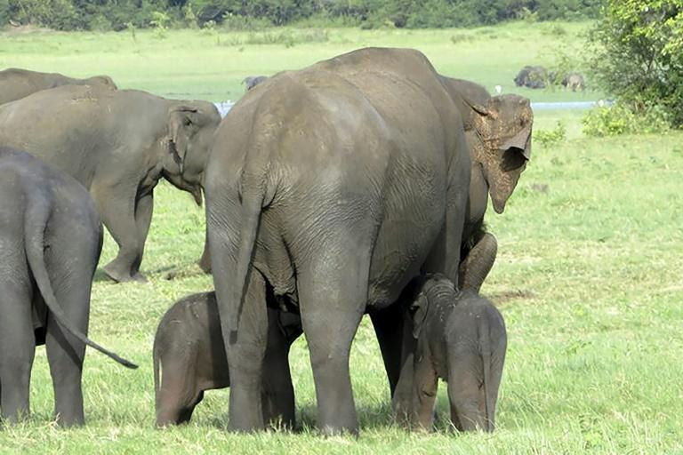 The young tuskers - who rangers estimate are three to four weeks old - were spotted in the Minneriya sanctuary in Sri Lanka (AFP Photo/SUMITH PILAPITIYA)