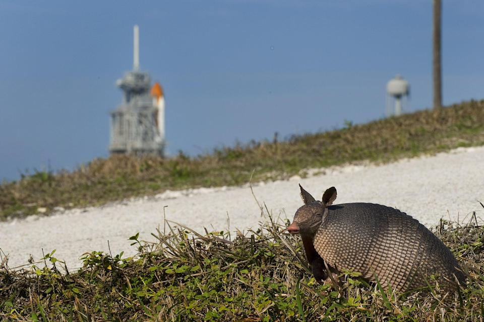 An armadillo prepares to cross a gravel road at Kennedy Space Center before the scheduled launch of STS-130 in Cape Canaveral, Florida, February 4, 2010. (PHOTO: JIM WATSON/AFP via Getty Images)