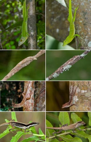 This figure illustrates pairs of anole lizard species from different islands that have independently evolved matching traits. From left to right, the top row depicts giant tree crown specialists Anolis cuvieri (Puerto Rico) and A. garmani (Jama