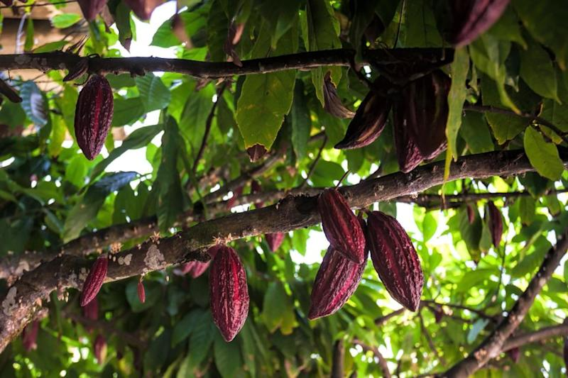 Cocoa plants are struggling as the climate warms up. Photo: Getty